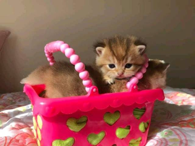 British Shorthair Kittens Ready For Sale