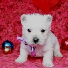 West Highland White Terrier Puppies For Sale!