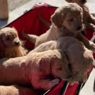 Mini Teddy Bear Irish Golden Doodle Puppies