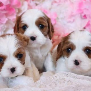 Two Cavalier King Charles Puppies Available