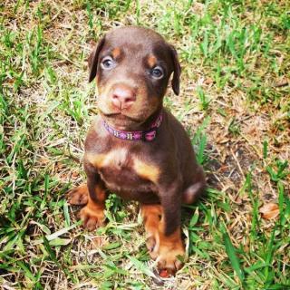 Beautiful Doberman Pinscher Puppies
