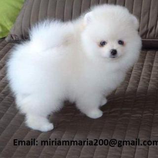 Outstanding Pomeranian Puppies