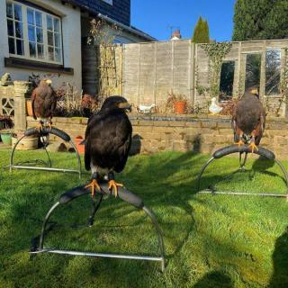 Falcon Birds Ready To Give You