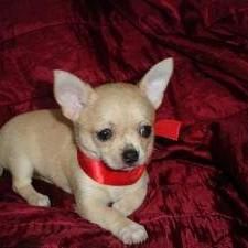 Quality Teacup Chihuahua Puppies For Sale