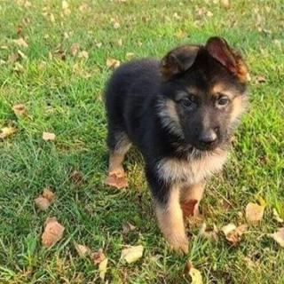 German Shepherd Puppies Ready For Forever Homes