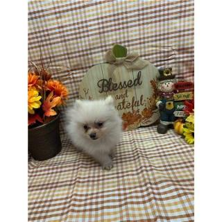 Pomeranian Puppies Ready For You