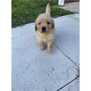 Golden Retriever The Perfect Puppy For You