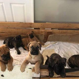Bullmastiff Strong Bloodline Available