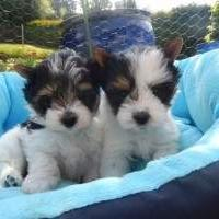 Male And Female Biewer Yorkie Puppies!