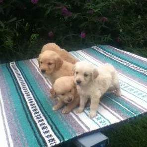 Potty Trained Golden Retriever Puppies