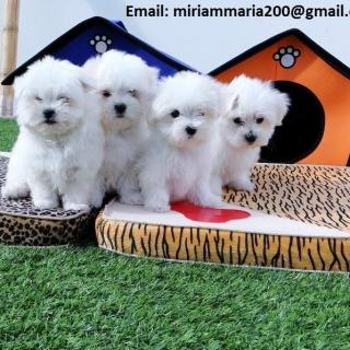 Maltese Two Girls And One Boy For Sale