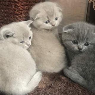 Beautiful Scottish Fold Kittens