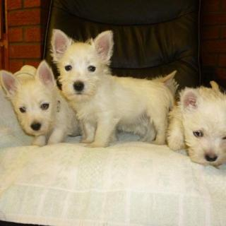11 Weeks Old And West Highland Terrier Puppies.