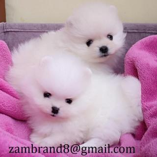 cute Pomeranian pupies