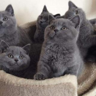Blew British Shorthair Kittens For Sale